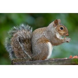 Grey Squirrel eating peanut