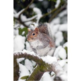 Grey Squirrel in the snow
