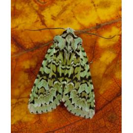Merveille Du Jour Moth 3