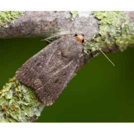Mouse Moth