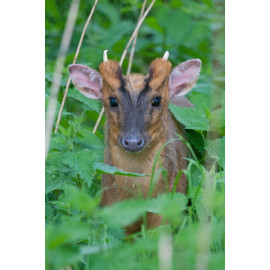 Muntjac Male in Undergrowth