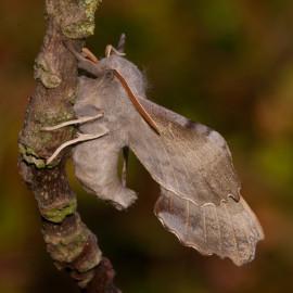 Poplar Hawk Moth 1