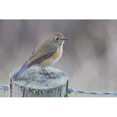 Red Flanked Bluetail Donna Nook 1