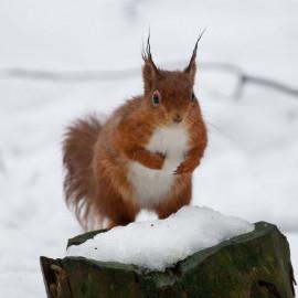 Red Squirrel County Durham