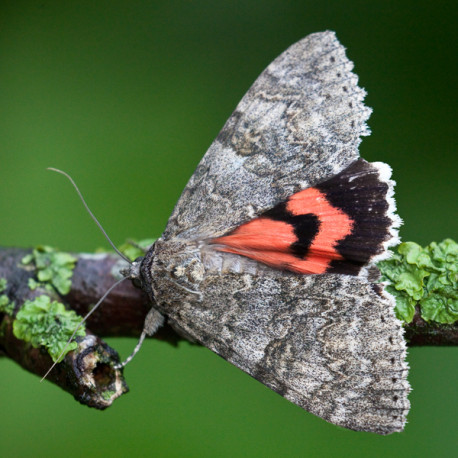 Red Underwing Moth 3