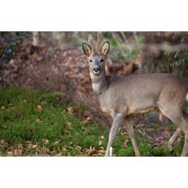 Roe Deer Glenloy