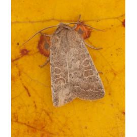 Vine rustic moth