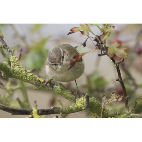 Yellow Browed Warbler Donna Nook 1
