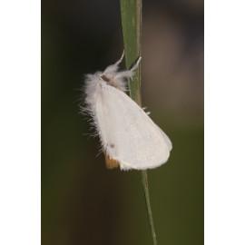 Yellowtail moth