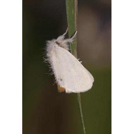 Yellowtailr moth