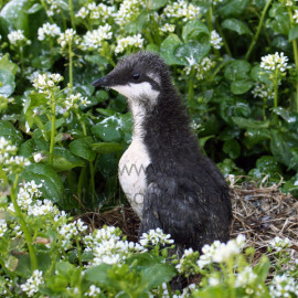 Guillimot Chick