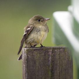 Arcadian Flycatcher, Kent 1