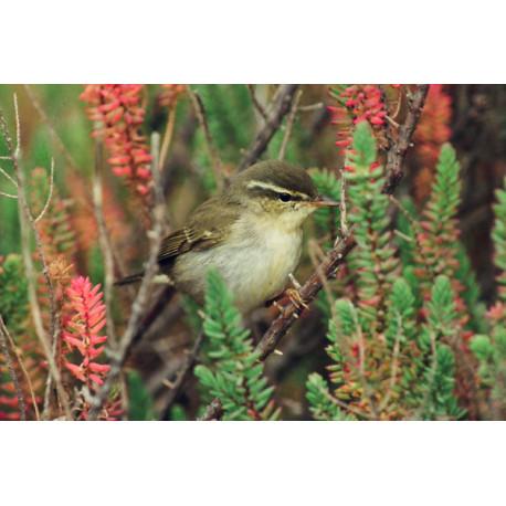 Arctic Warbler, Blakeney