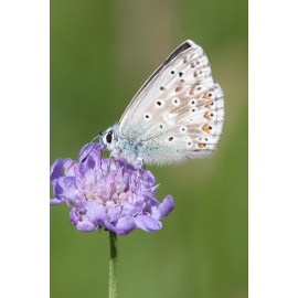 Chalk Hill Blue Warham 2