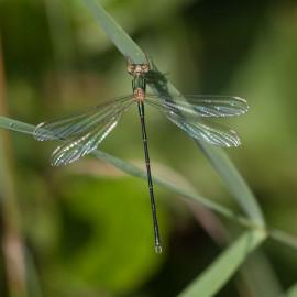 Emerald Damselfly 1