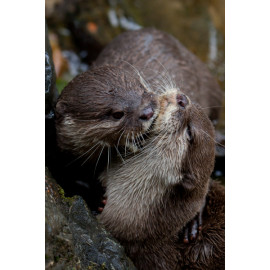 Eurasian Short Clawed Otter grooming