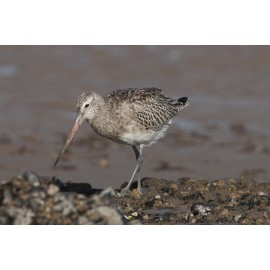 Bar-tailed Godwit Titchwell 2